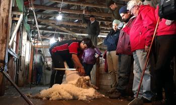 Estancia fuegüina es la primera de la Patagonia que genera toda su producción ovina y de lana con energía solar
